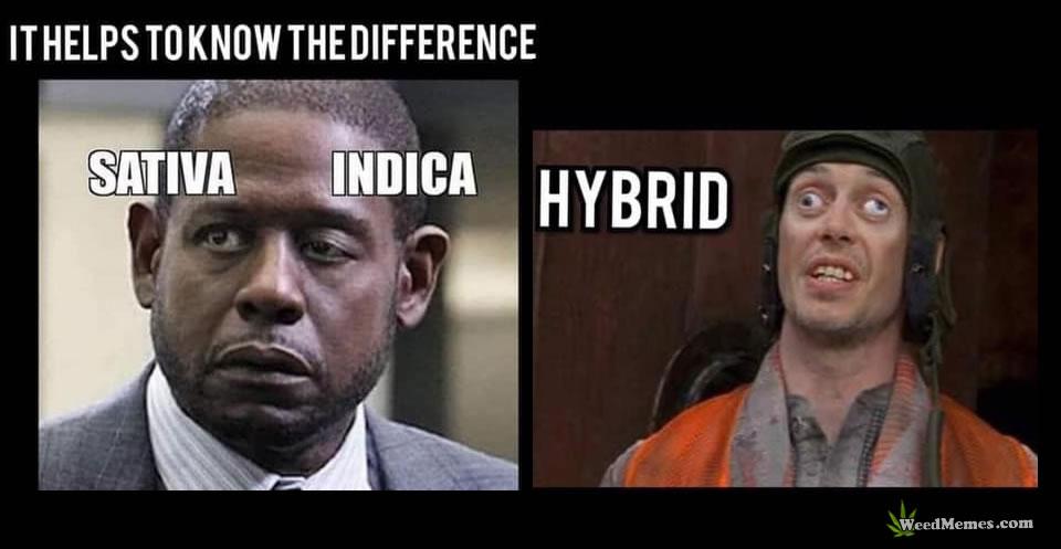Sativa vs Indica vs Hybrid