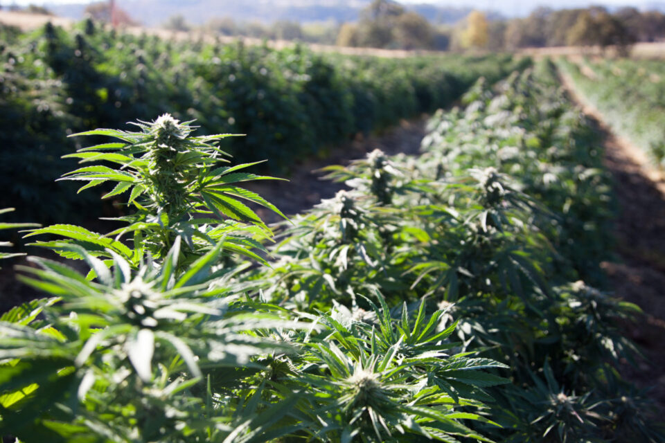 After Two Years, American Hemp Experts Applaud USDA Rules While Waiting On Further Clarity