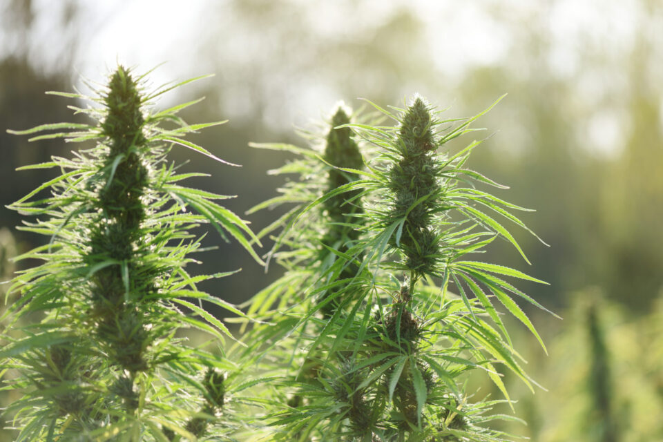 New Mexico House Of Representatives Passes Recreational Marijuana Legalization Bill